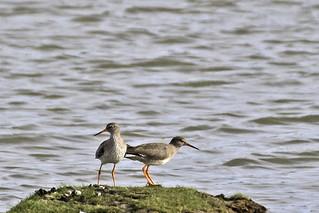 A Pair Of Redshank