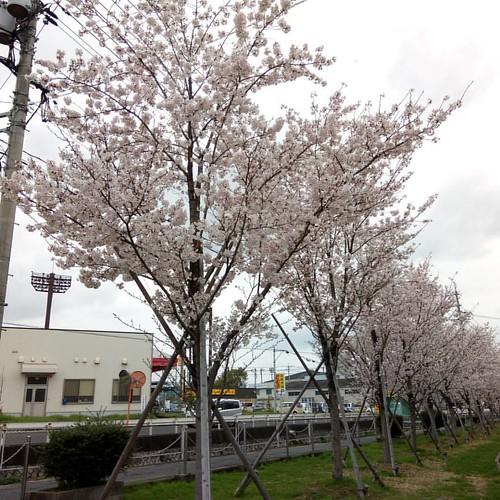 桜満開なんだけど、微妙にお天気悪いんだよね(~o~) #倉敷 #桜