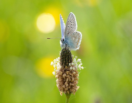 Little Blue butterfly. by babygreys