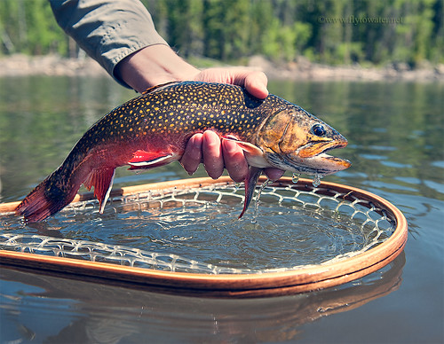 A Brookie in the Hand...