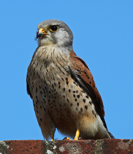 Kestrel after House Sparrow lunch by Kinzler Pegwell