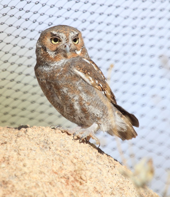 Elf Owl 2-20130614 - Copy