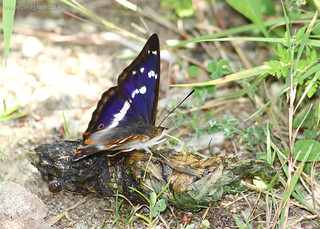 Purple Emperor at Chicksands Wood