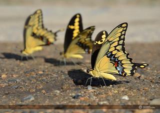 Mariposas Amarillas // Yellow Butterflies