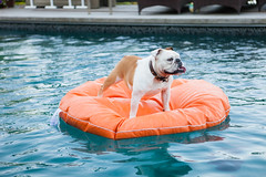 Bulldog on Water