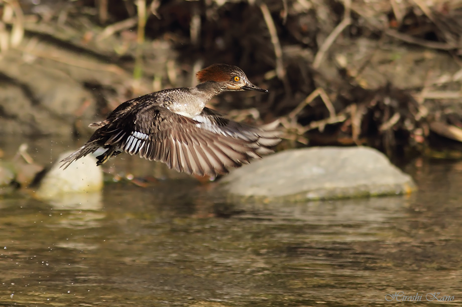 Hooded Merganser 052813-12