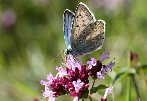 Chalkhill Blue  Lysandra coridon