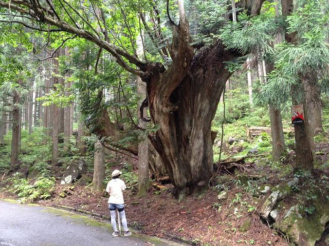 蕪山 株杉
