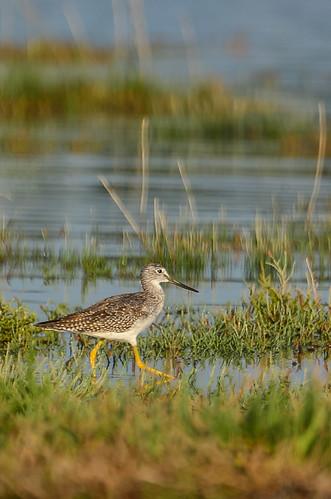 <p><i>Tringa melanoleuca</i>, Scolopacidae<br /> Blackie Spit, Surrey, British Columbia, Canada<br /> Nikon D5100, 70-300 mm f/4.5-5.6<br /> September 1, 2013</p>