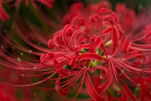 曼珠沙華 -Red spider lily-