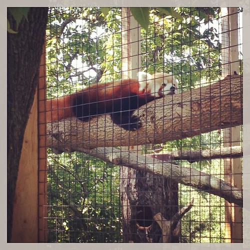 I almost forgot this one! Check this guy out. :) #snoozin #redpanda #zoo #fortwaynezoo