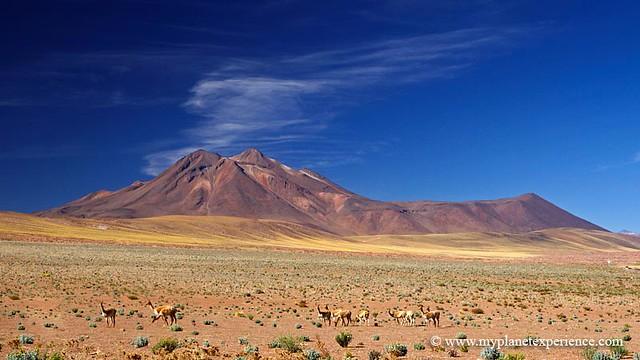 Vicuña y Cerro Miscanti - Atacama desert, Chile