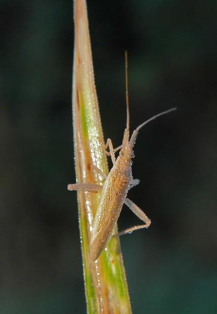 Stenodema laevigata - karcsú mezeipoloska