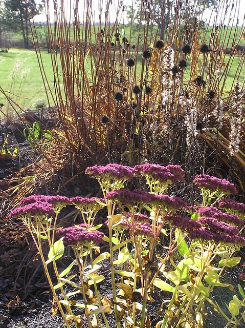 Sedum, Echinacea, L iatris & Iris sibirica