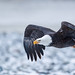 Bald Eagle by amkhosla