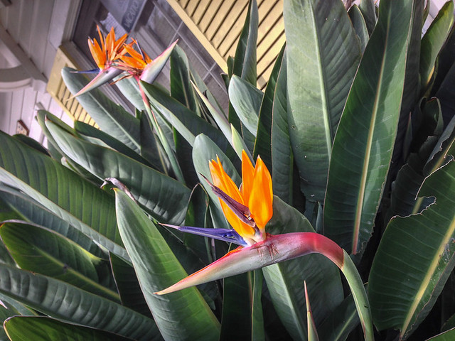 Bird of Paradise in front of a home on Catalina Island