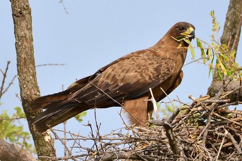 nest botswana wahlbergseagle aquilawahlbergi hieraaetuswahlbergi