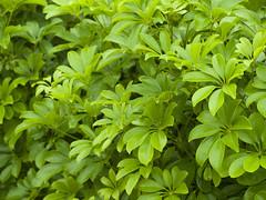 vegetable(0.0), flower(0.0), produce(0.0), food(0.0), vietnamese coriander(0.0), shrub(1.0), leaf(1.0), plant(1.0), herb(1.0), basil(1.0),