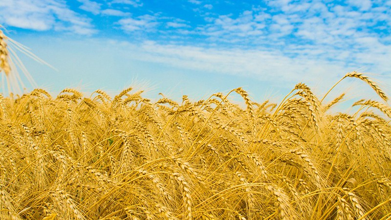 barley-fields-of-gold