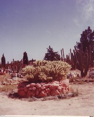 A circle of cactus