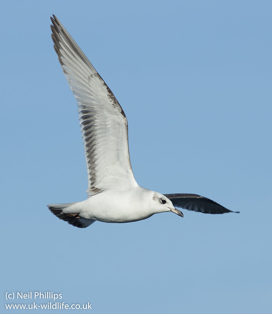 mediterranean gull in flight-4