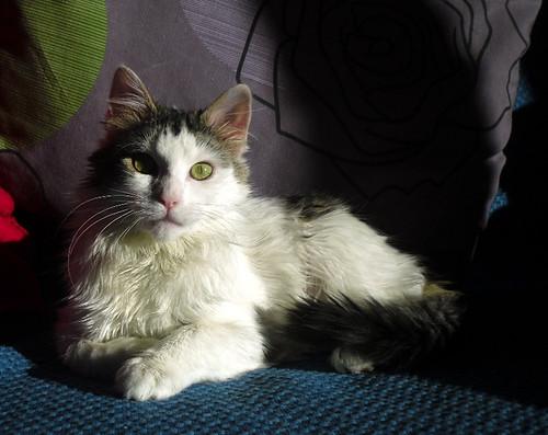 Neus, gata blanca cruce Van Turco pelo largo nacida en Julio´13 en adopción. Valencia. ADOPTADA. 12383938634_a069fd9e25