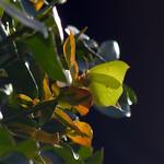 HOERA!!!, De eerste vlinder dit jaar; een Citroenvlinder!
