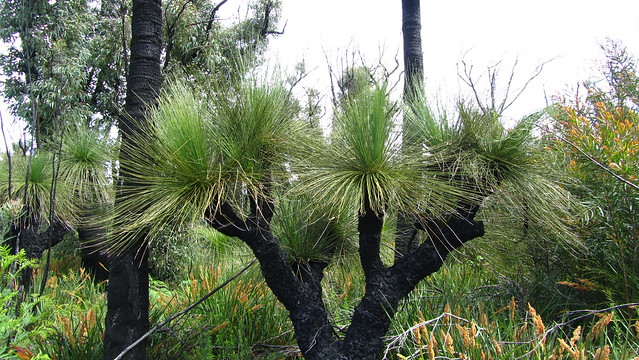 Day 38: Grass Trees
