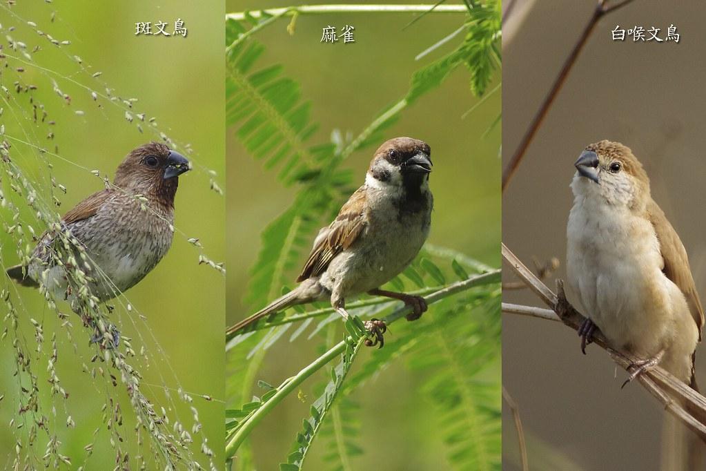 外來歸化種 - 白喉文鳥