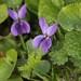 Small photo of Sweet violet (Viola odorata)