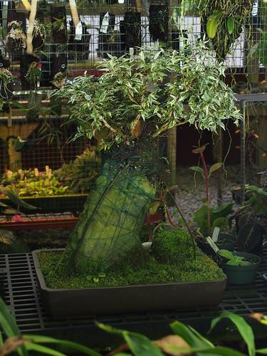 Ficus bonsai planting
