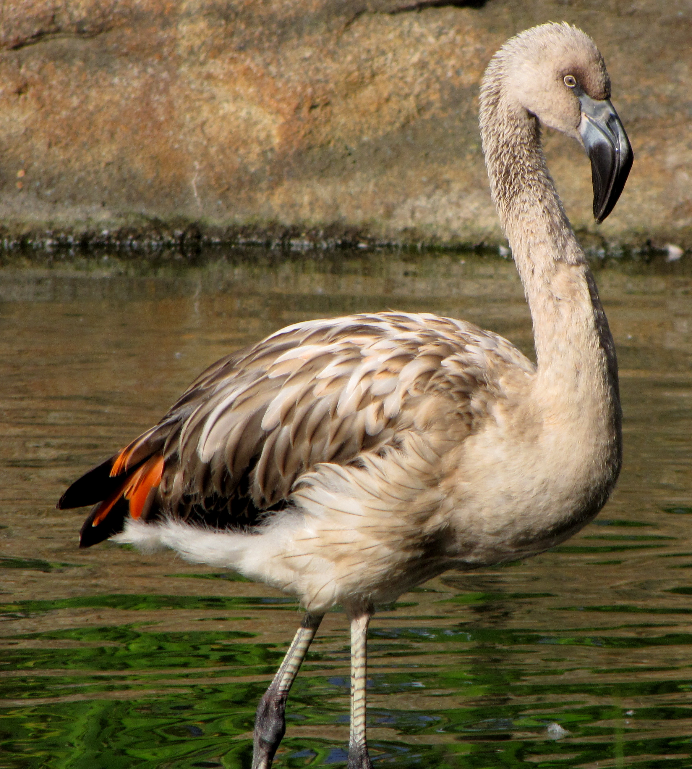 Young Chilean Flamingo