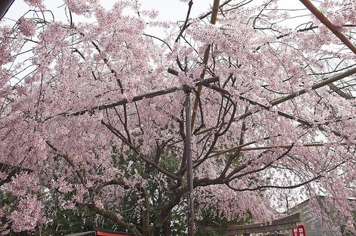 【写真】桜 : 水火天満宮