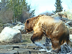 2014-04-02 Mn Zoo Playful Grizzlies-W 222