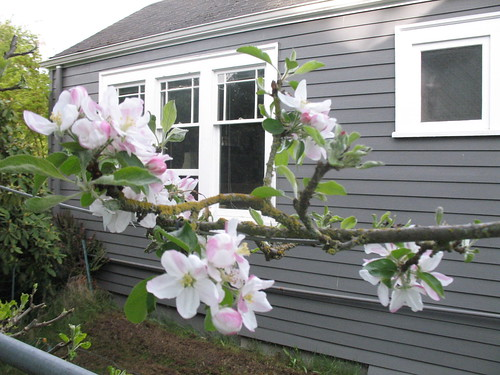 Espalier apple blossoms