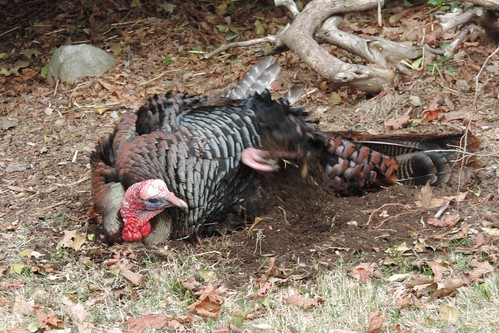 #45 Wild Turkey (Meleagris gallopavo)