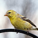 American Goldfinch by Micha67