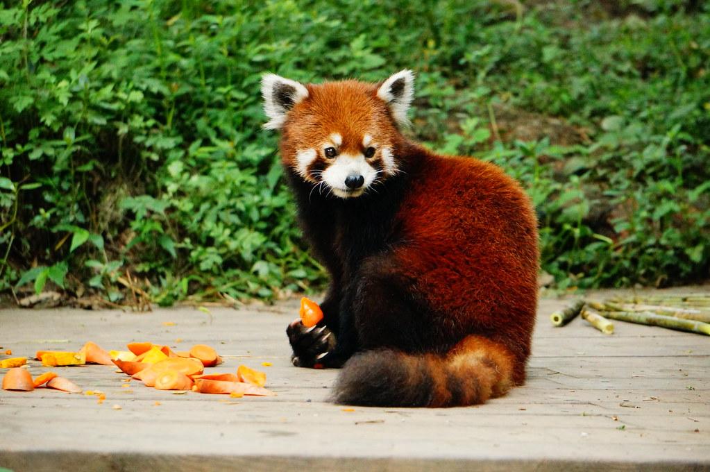 Vibrant Red Panda