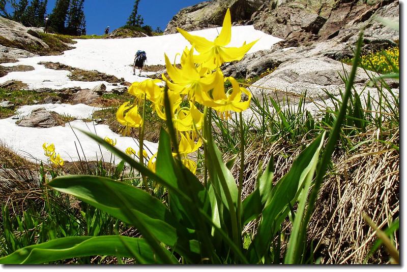 Glacier Lilies (Bluebird Lake) 3