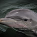 Baby Bottlenose Dolphin by AJ Hége Photography