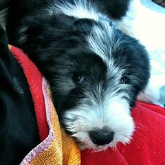 This is teeny tiny fluffy me 4 years ago on the car ride to my new home. I barfed a lot on my first car ride but luckily I love car rides now.