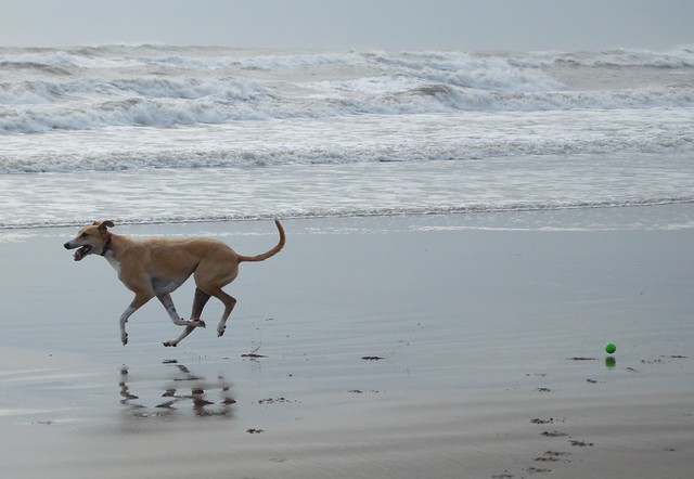 Lurcher on the beach