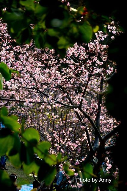 麗池櫻花43