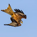 Red Kite Diving - 2
