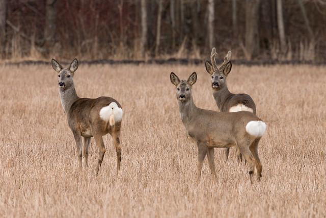 Metskits; Roe deer (Capreolus capreolus)