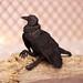 kaykedolls raven