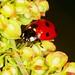 Joaninha, Ladybird (Coccienella septempuntat) by xanirish