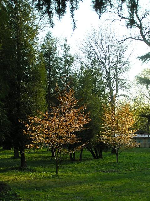 Õhtupäike kirsipuudes
