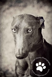 Gelert | Pet Photography Leighton Buzzard