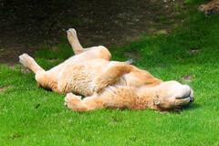 Lionne se repose